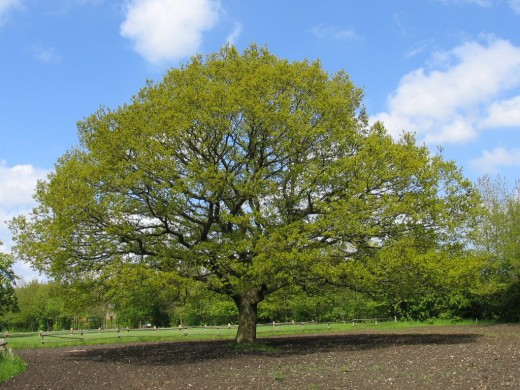oak-1548402 (1)